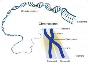 chrom_DNA