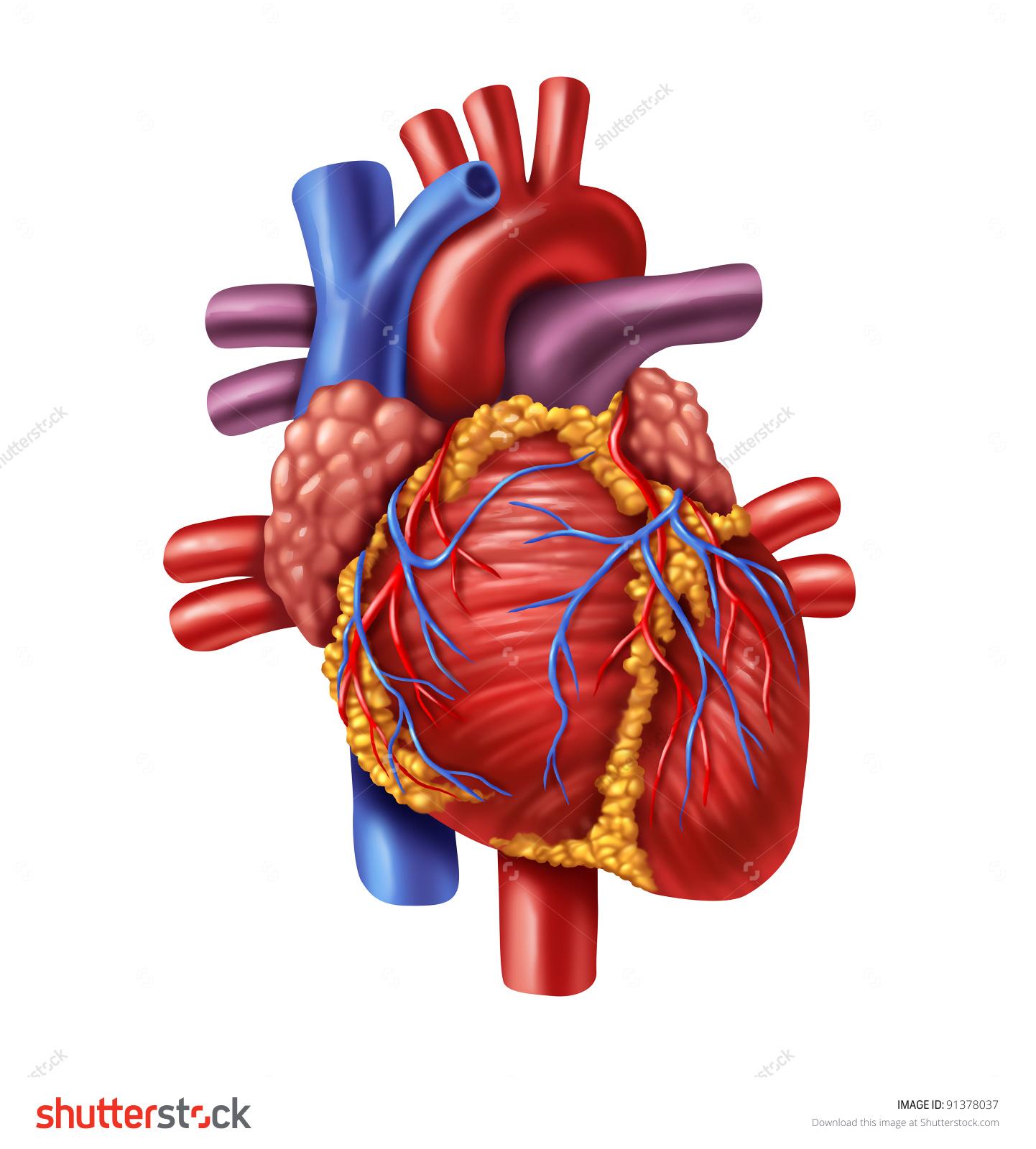 عکس قلب طبیعی انسان