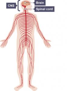 Nerv system